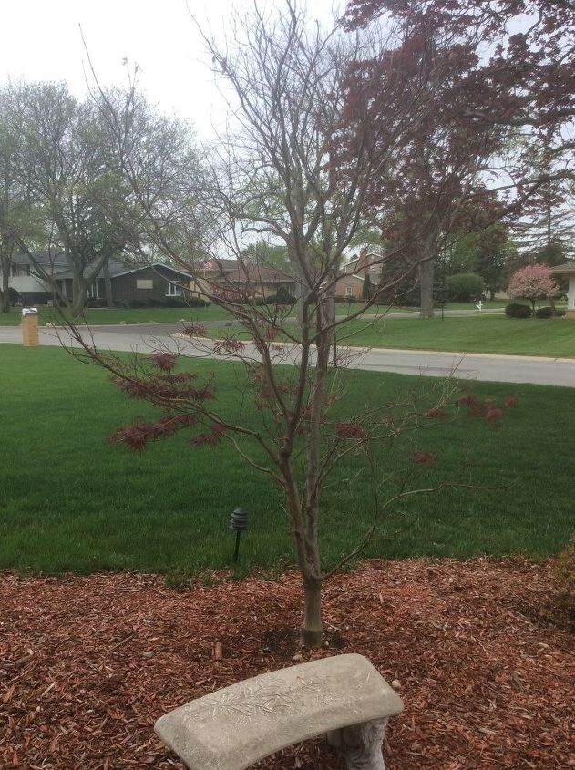 q what causes a japanese maple tree to only bloom 1 2 way