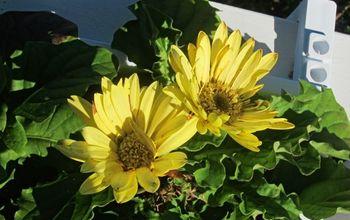 gardening and gerbera daisies