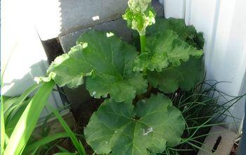 Raising Rhubarb First Year