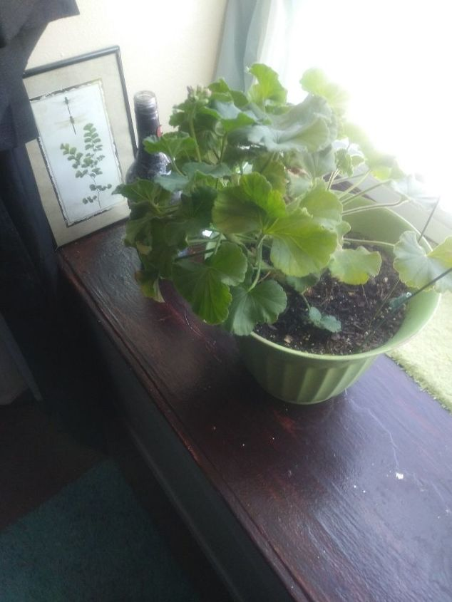 q how can i help my geraniums to bloom