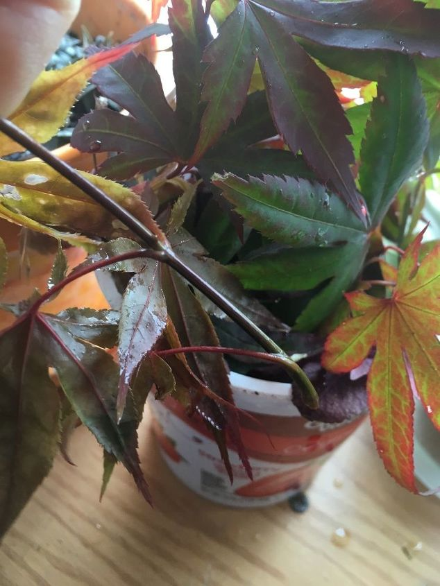 q how to get chinease red leaf maple branches to live
