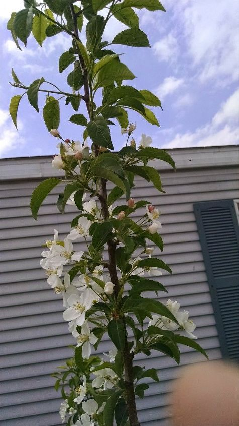 q can anyone help me identify this tree it just finished blooming