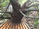 q honeybees