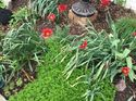 q what do i do with the greens after my tulips and daffodils bloom