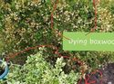 q helpvi need to save my boxwood bush