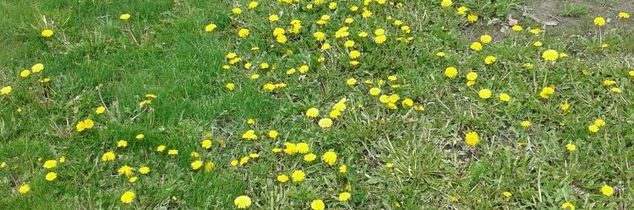 q how to get rid of the dandelions