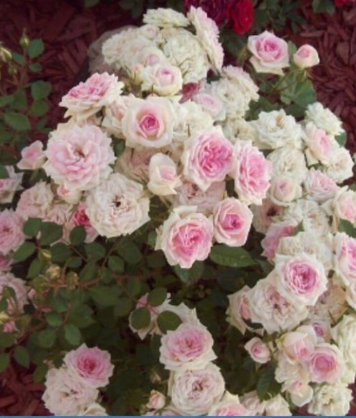 get more blooms on roses