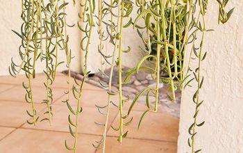 how why i pruned my trailing fishhooks succulent