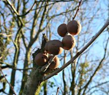 how to make oak gall ink