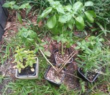q how to replant herbs in ground and prune