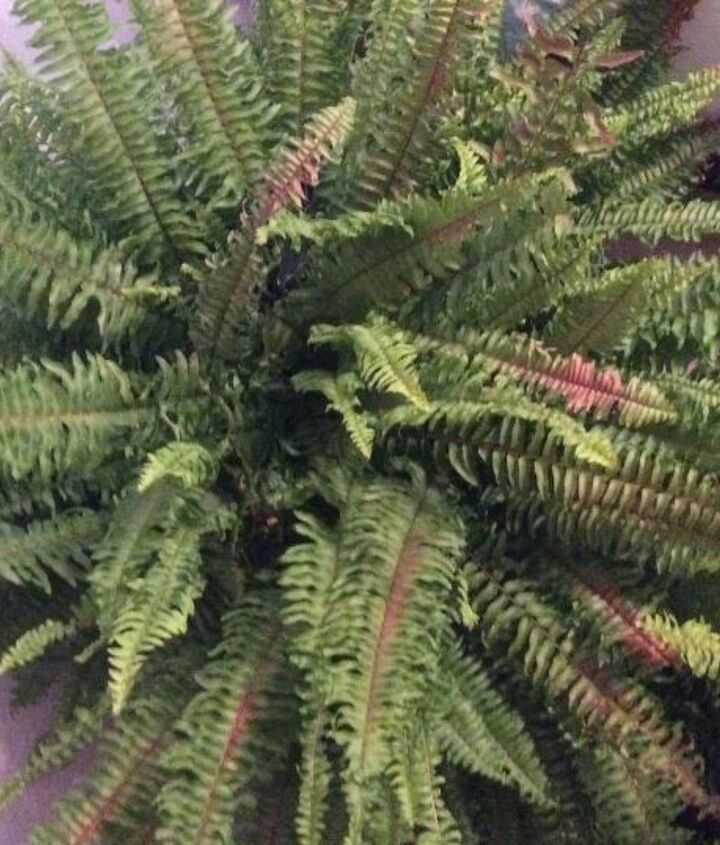q what is turning my boston fern brown