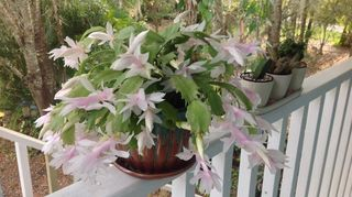 I Have Mine On A Deck Rail It Gets Filtered Sun And Is 10 Years Old This What Looks Like Every Year Pinch Back Put In Other Pots Or