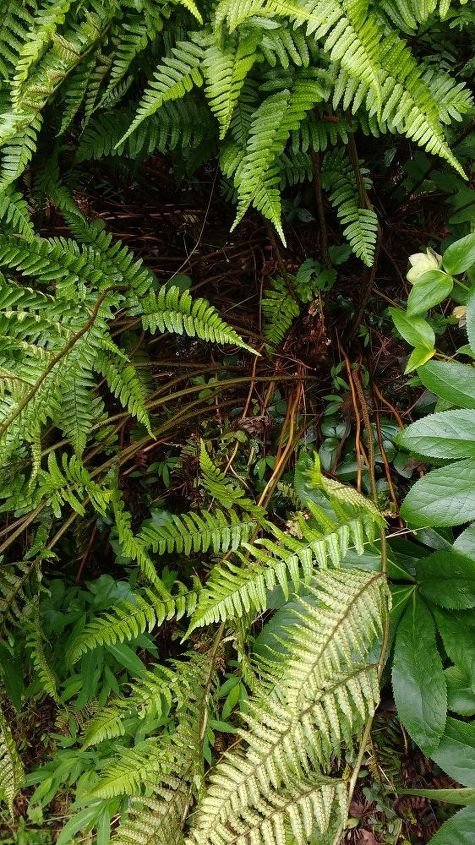 q here are two ferns that have gotten very large i want to dig one up