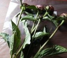 how to make your peony blossoms last for up to a month