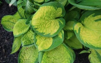 Got Hosta Questions? I've Got Hosta Answers.