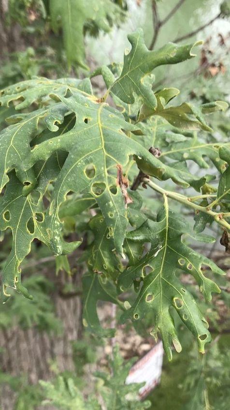 q holes in oak tree
