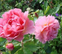 planting roses by pop walker