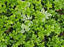 q how can i get rid of green carpet japanese spurge