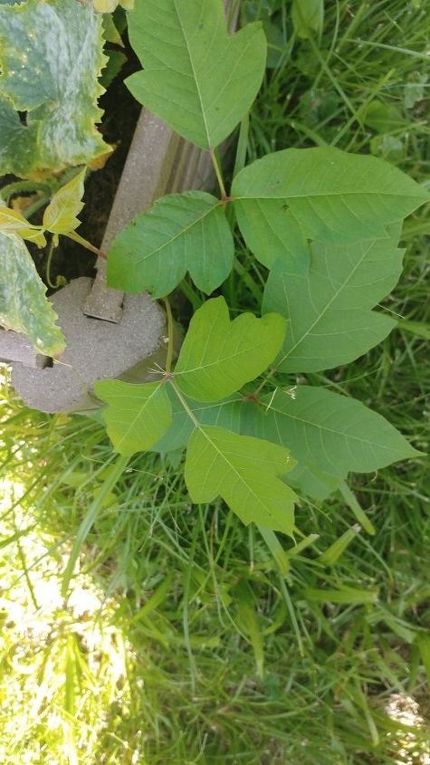 q what ivy plants are this in my yard i ve had a terrible reaction