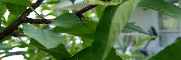 q insects on cherry tree eating leaves