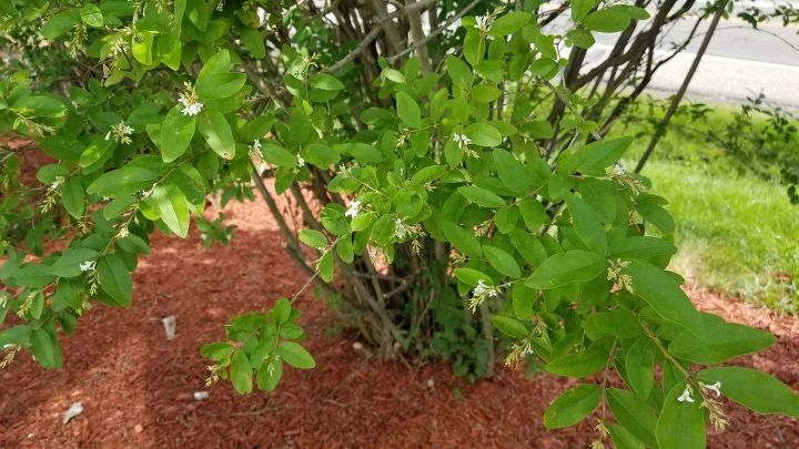 q does anyone know what type of hedge this is they are 10ft high