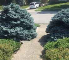 q trimming blue spruce