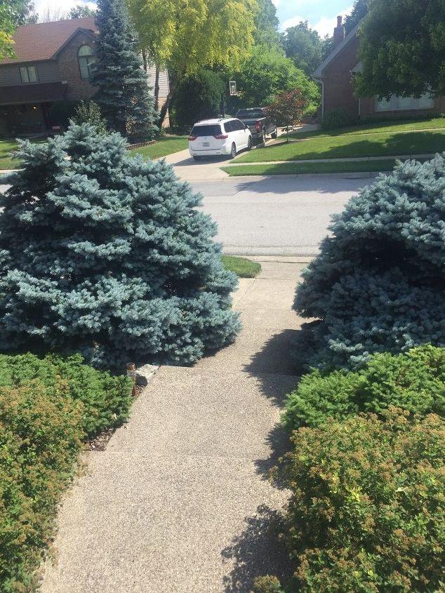 q trimming blue spruce