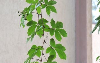the easy steps to tame your virginia creeper