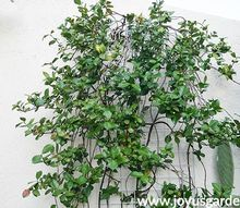 the best time to prune star jasmine