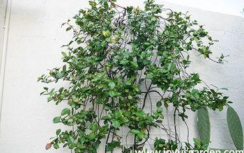 the best time to prune star jasmine