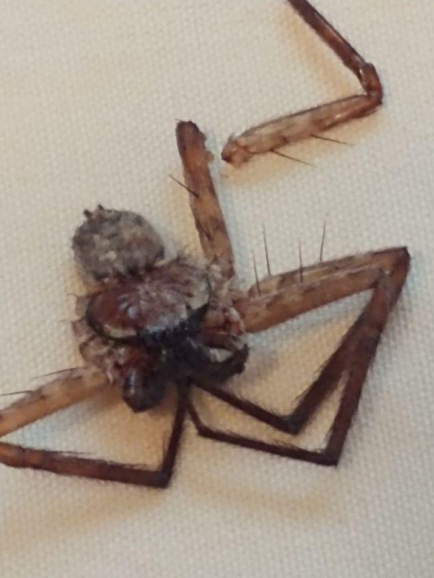 q spider