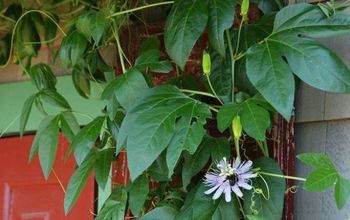 Plant This Easy to Grow Flowering Vine to Attract & Feed Pollinators!