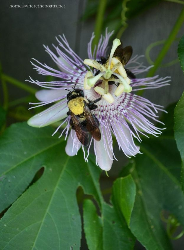 plant this easy to grow flowering vine to attract feed pollinators