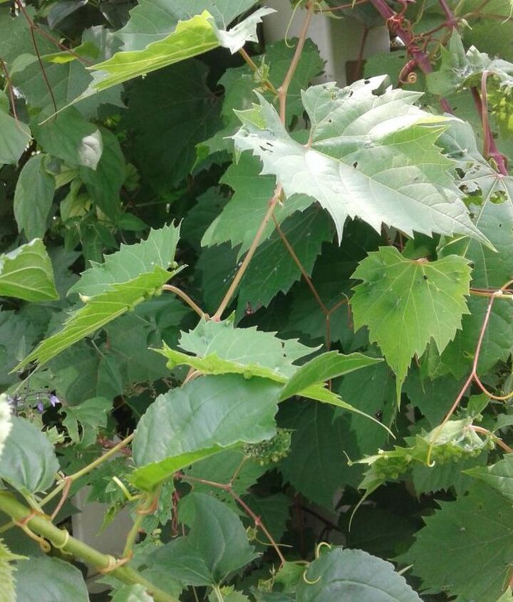 q what kind of vine is this it reminds me of a grape but unsure