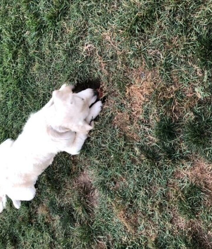q puppy doggy holes in lawn