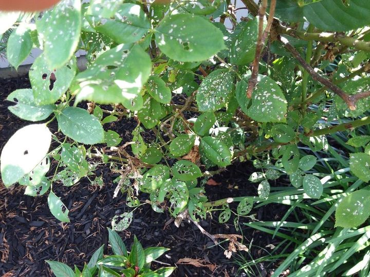 q what can i use to save my rose bushes