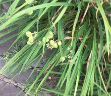q will day lilies rebloom