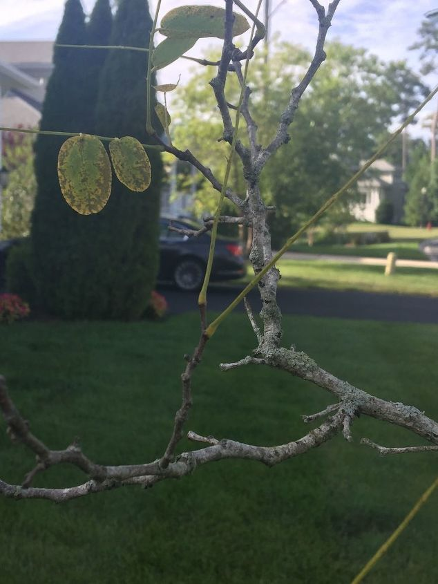 q what is killing my flowering tree it can t be the lichen can it