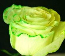 how to dye roses at home