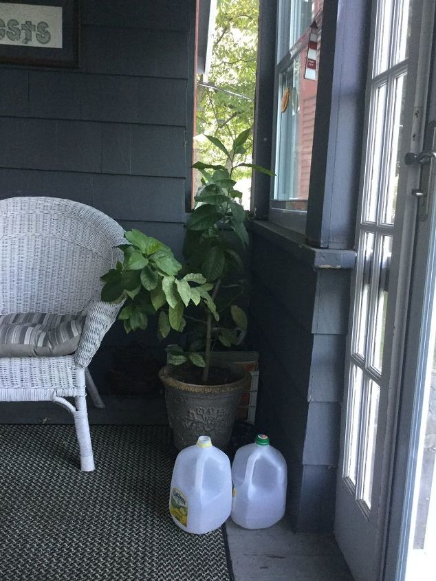 q how long does it take for a potted lemon tree to produce fruit