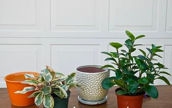 repotting peperomia plants plus the proven soil mix to use