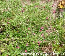how to prune woody salvias in summer