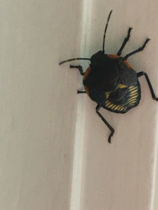 q ugly beetles