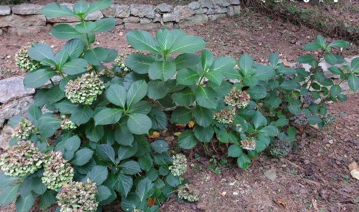 q all of these hydrangeas were planted at the same time and are