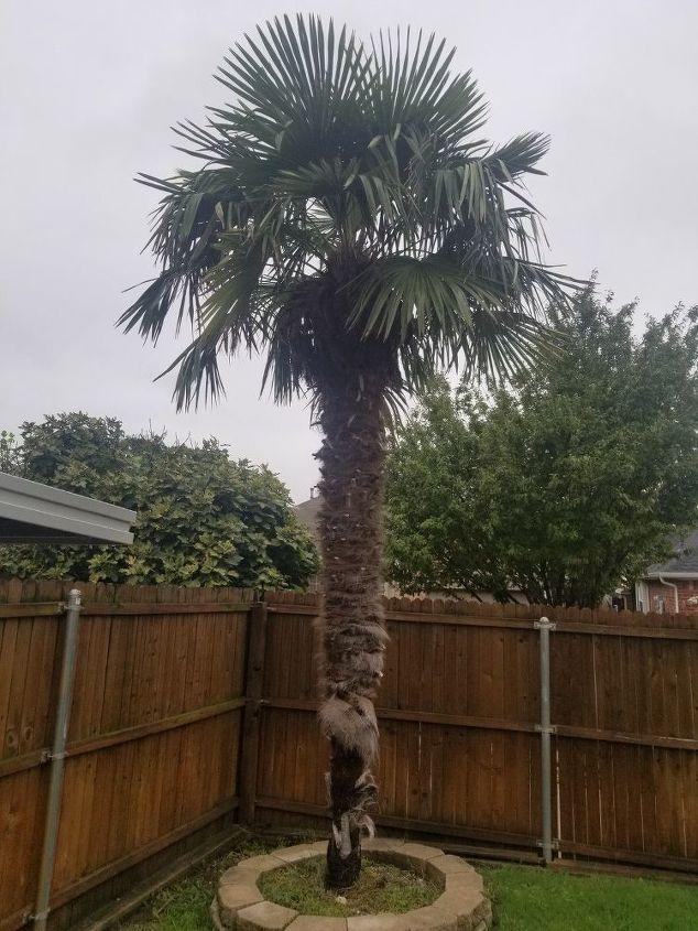 Palm Tree Peeling Bark Hometalk