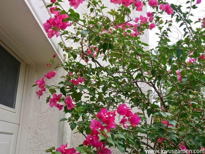 pruning bougainvillea in summer mid season to encourage more bloom