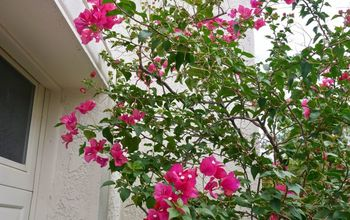 pruning bougainvillea in summer mid season to encourage more bloom