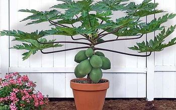 Grow Papaya in Containers