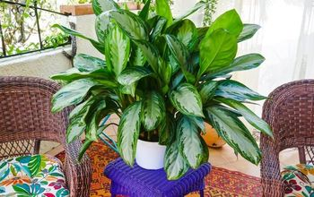 chinese evergreen care growing tips