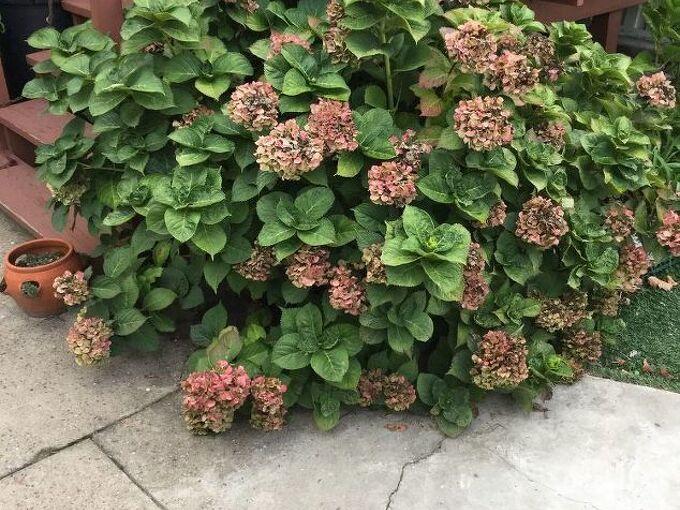 q how do you prune hydrangea